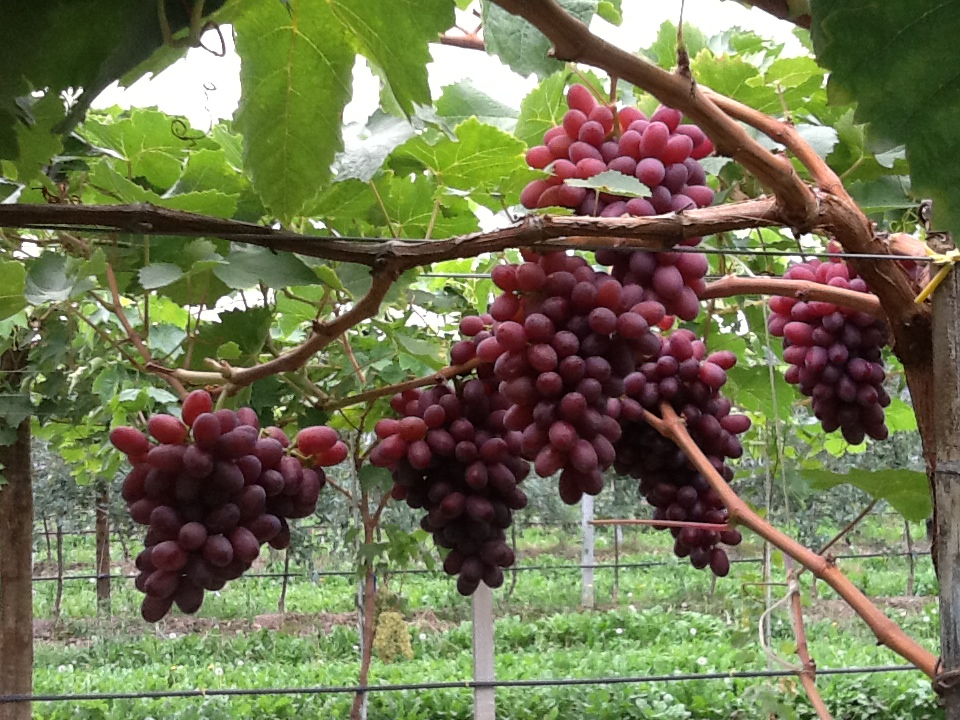 A saluzzo uva da tavola del monviso - Uva da tavola coltivazione ...